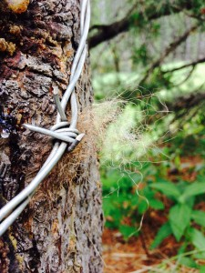 Barbed wire affixed to rub trees helps researchers collect bear hair.