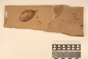 Leaf of Betula and Zelkova. From Smithers, BC. Age: Eocene. Compression on volcanic ash.