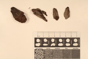 Pinus cone and cone scales unaltered remains. Miocen, N. Yukon.