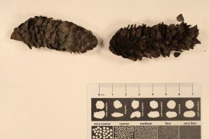 Pinus cones from the Miocene, N. Yukon. Unaltered remains.