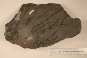Sawdonia ornata, note prominent spines from Gaspe, Peninsula. Age Upper Silurian to Lower Carboniferous.