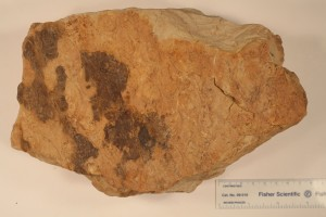 Lepidodendron leaf bases from Pella, Iowa. Age Pennsylvanian