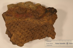 Lepidodendron from Southern Illinois. Age Pensylvanian.
