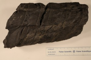 Pit cast of Calamites from Illinois. Age Pennsylvanian.