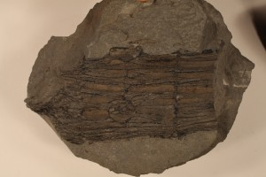 Stem cast of Calamites with branch scars.