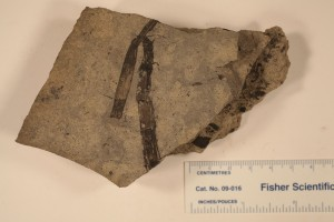 Equisetites fragment from the Drumheller area. Age U. Cretaceous.