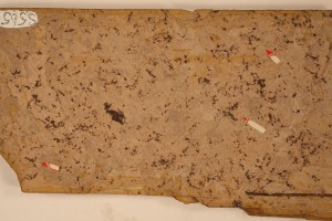 Azolla from Smithers, B.C. Age Eocene.