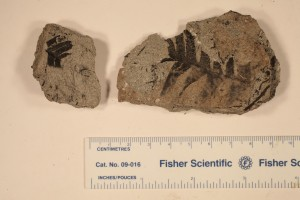Nilssonia. From Drumheller, AB. Age U.Cretaceous.