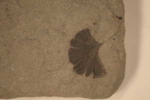 Ginkgo sp. From Drumheller, AB. Horseshoe Canyon Formation. Age U.Cretaceous.