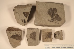 Ginkgo leaves. From Drumheller, AB. Horseshoe Canyon Formation. Age U. Cretaceous.