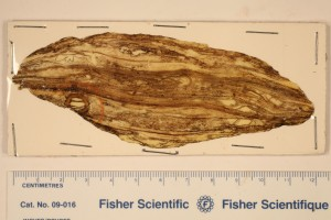 Cordaites. Peels, stem x.s. young stem showing septation. Note trave in 2nd wood on P844. From N.A. Age M. Pennsylvanian.