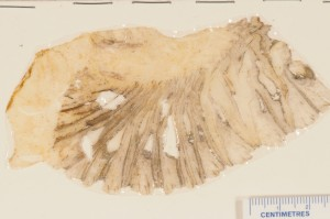 Araucaria sphaerocarpa. Peel of holotype from BMNH, showing l.s. of cone Carruthers 1866.