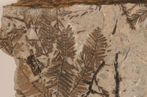 Metasequoia occidentalis. From Smoky Tower, AB. Age Paleocene.