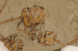 Metasequoia foxii. Broken. Coll by Betty Speirs. From Joffre Bridge, AB. Age Paleocene.