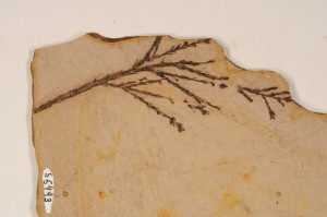 Glyptostrobus sp. Specimen with foliage and pollen cone? From Smithers, BC. Age M.Eocene.
