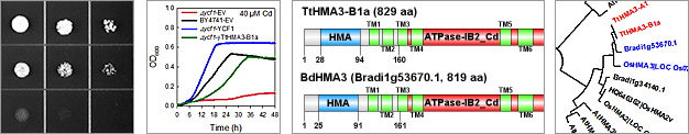 Characterization of P1B-type heavy-metal ATPase transporters in Brachypodium distachyon