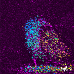 Super resolution image of synaptic proteins